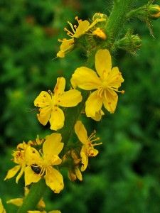 AGRIMONY [ BACH FLOWER ]