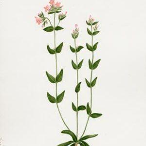CENTAURY [ BACH FLOWER ]