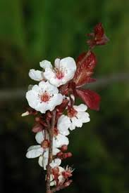 CHERRY PLUM [ BACH FLOWER ]