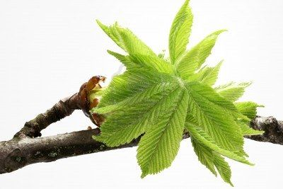 CHESTNUT BUD [ BACH FLOWER ]