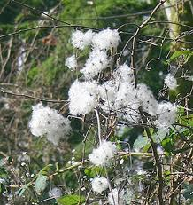 CLEMATIS [ BACH FLOWER ]