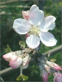 CRAB APPLE [ BACH FLOWER ]