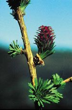 LARCH [ BACH FLOWER ]