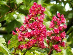 RED CHESTNUT [ BACH FLOWER ]
