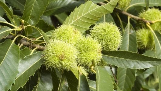 SWEET CHESTNUT [ BACH FLOWER ]