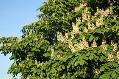 WHITE CHESTNUT [ BACH FLOWER ]